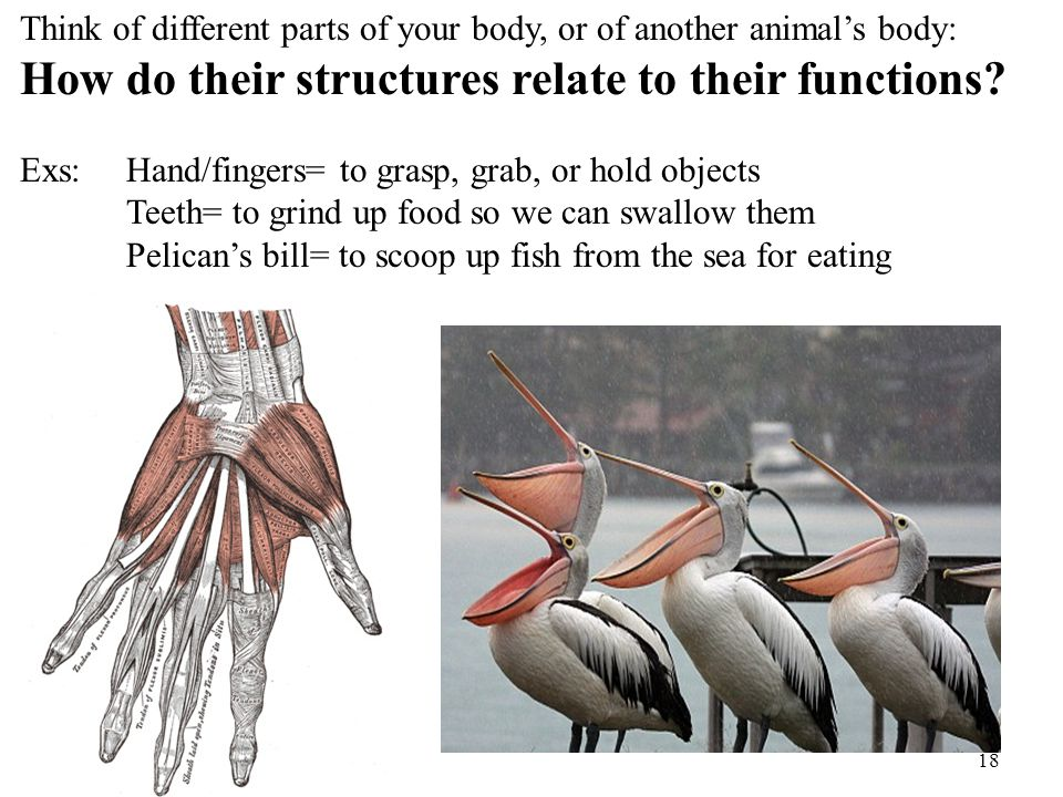 18 Think of different parts of your body, or of another animal's body: How do their structures relate to their functions? Exs: Hand/fingers= to grasp,