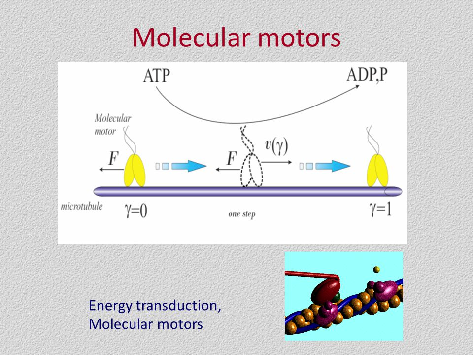 Molecular motors Energy transduction, Molecular motors
