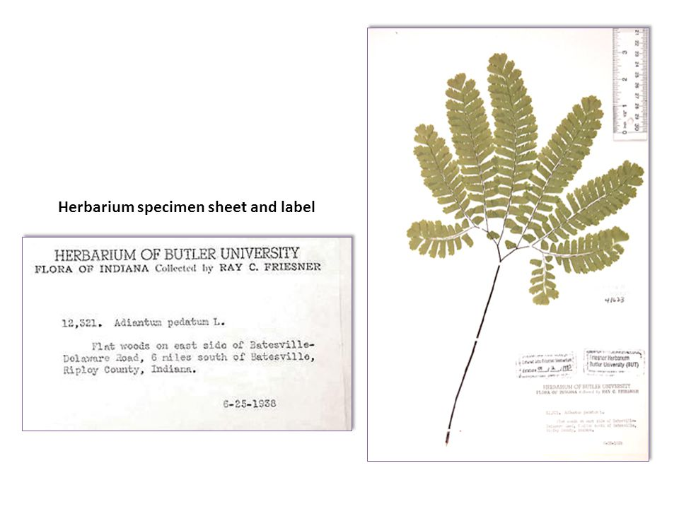 Herbarium specimen sheet and label