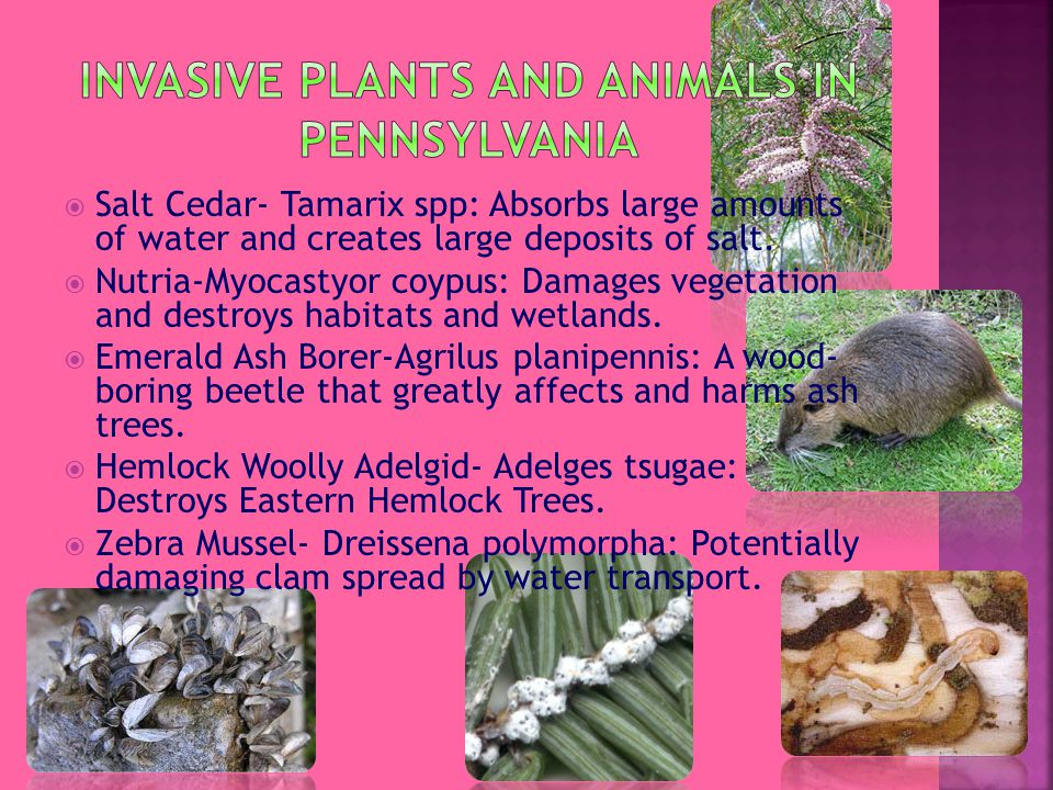  Salt Cedar- Tamarix spp: Absorbs large amounts of water and creates large deposits of salt.