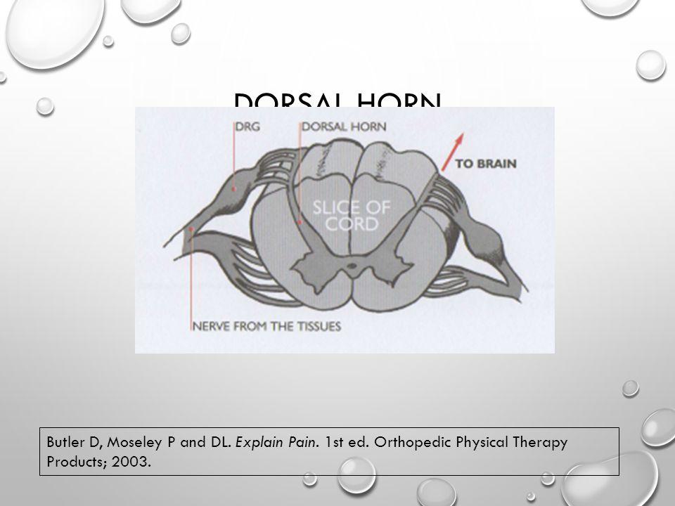 DORSAL HORN Butler D, Moseley P and DL. Explain Pain.