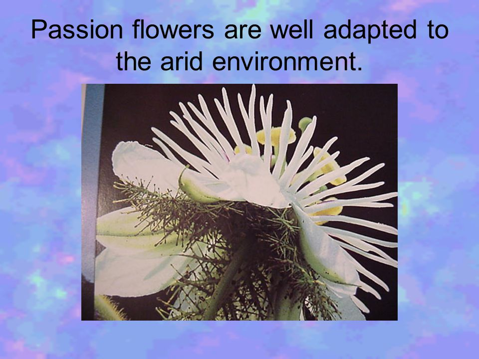 Passion flowers are well adapted to the arid environment.
