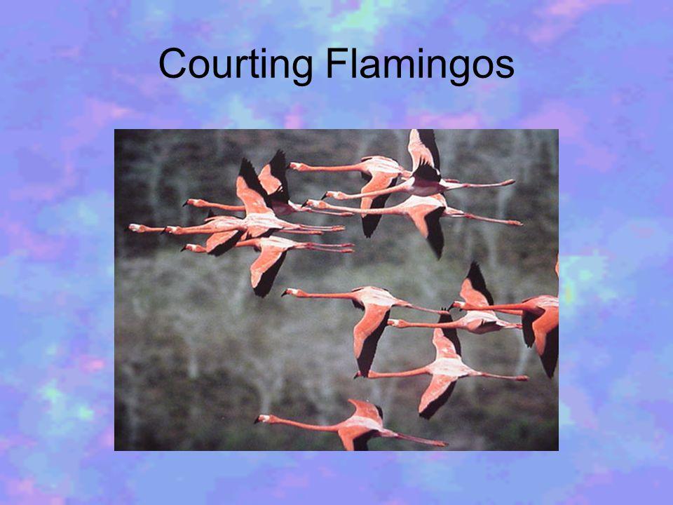 Courting Flamingos