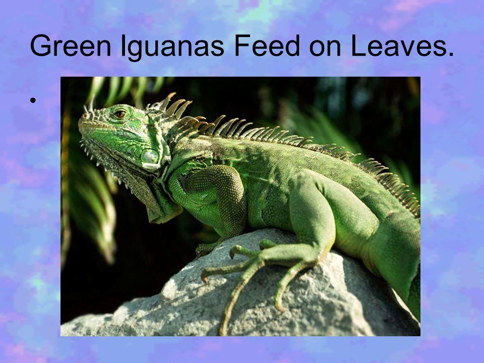 Green Iguanas Feed on Leaves.