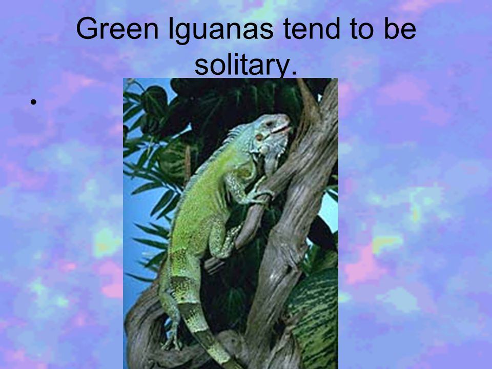 Green Iguanas tend to be solitary.