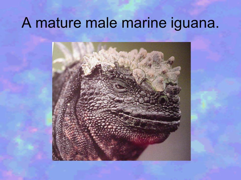 A mature male marine iguana.