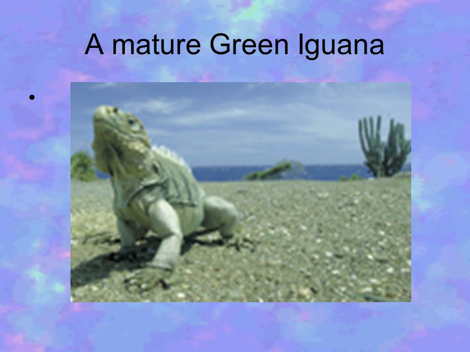 Some marine iguanas adapted to eating Batis salt plants when algae was in short supply.