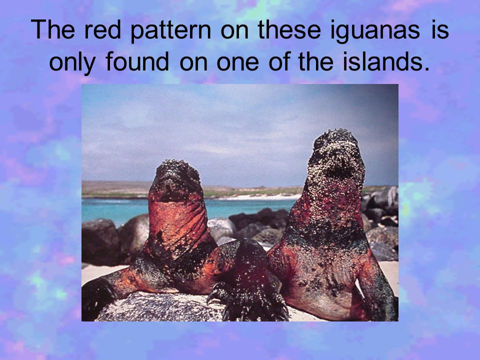 After feeding, the marine iguanas must bask to warm up.
