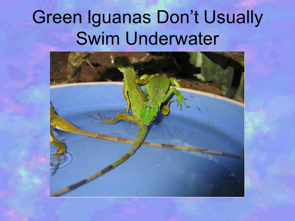 Green Iguanas Don't Usually Swim Underwater