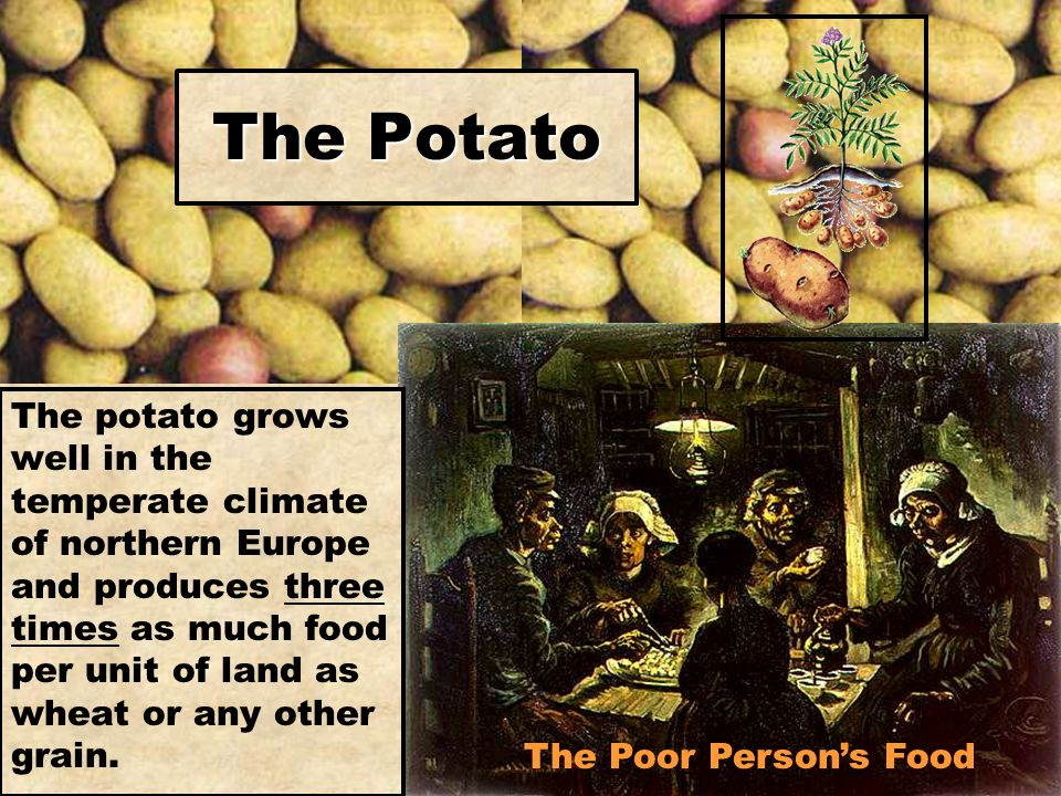 The Poor Person's Food The Potato The potato grows well in the temperate climate of northern Europe and produces three times as much food per unit of