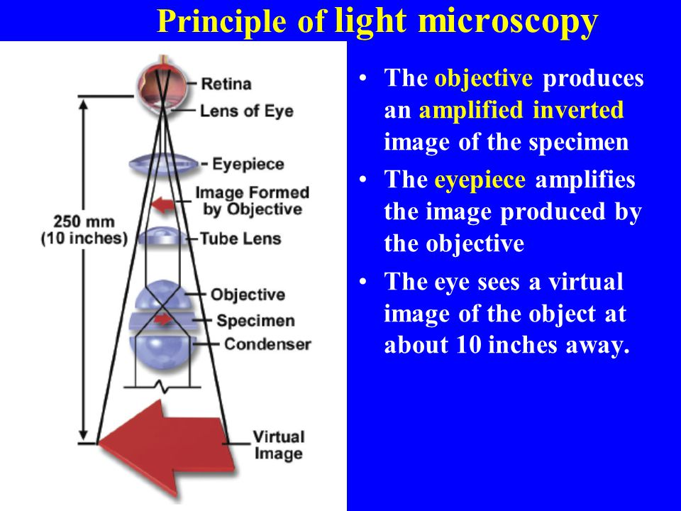Principle of light microscopy The objective produces an amplified inverted image of the specimen The eyepiece amplifies the image produced by the obje