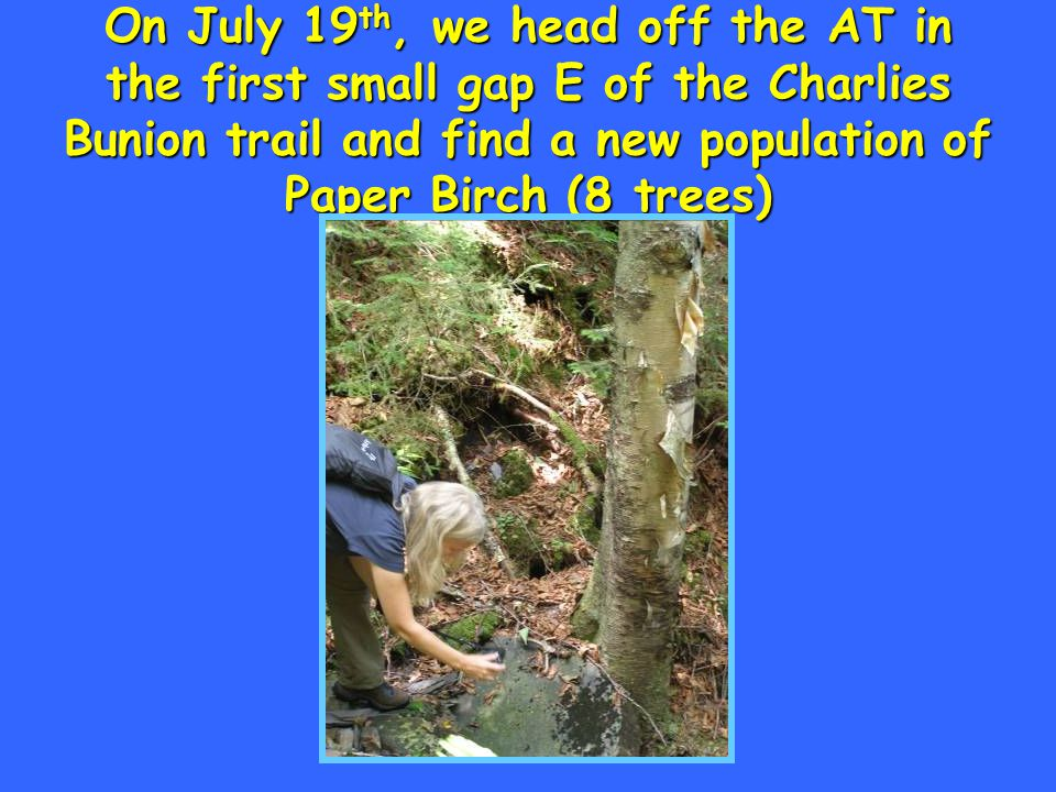 On July 19 th, we head off the AT in the first small gap E of the Charlies Bunion trail and find a new population of Paper Birch (8 trees)