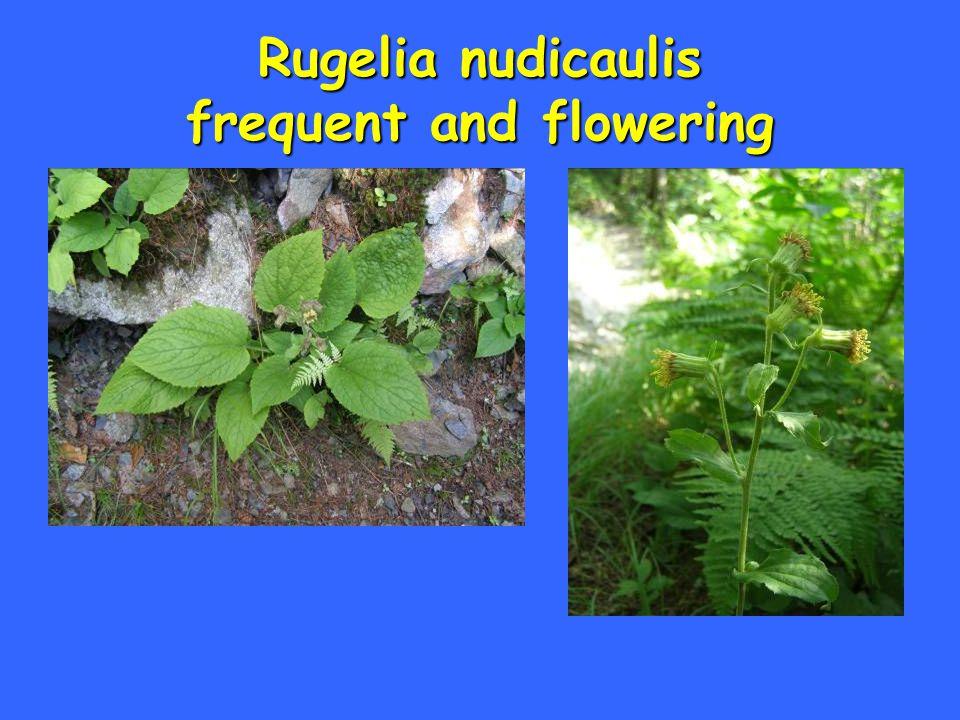 Rugelia nudicaulis frequent and flowering
