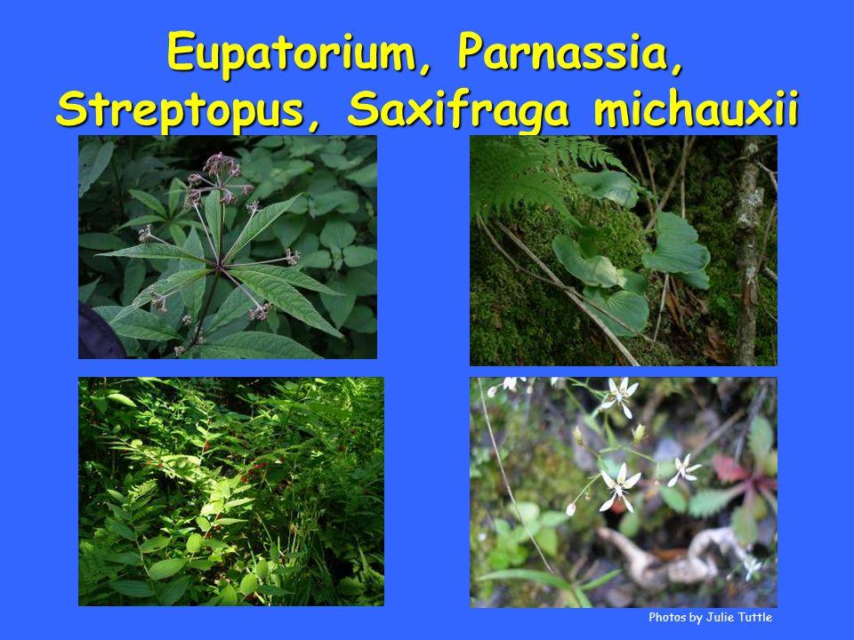 Eupatorium, Parnassia, Streptopus, Saxifraga michauxii Photos by Julie Tuttle