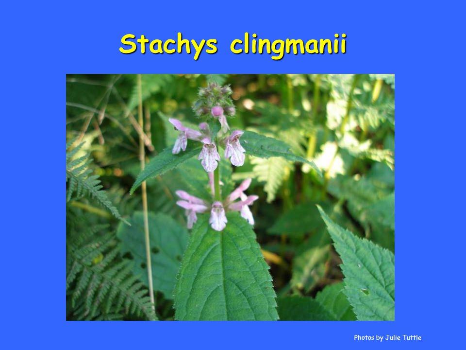 Stachys clingmanii Photos by Julie Tuttle