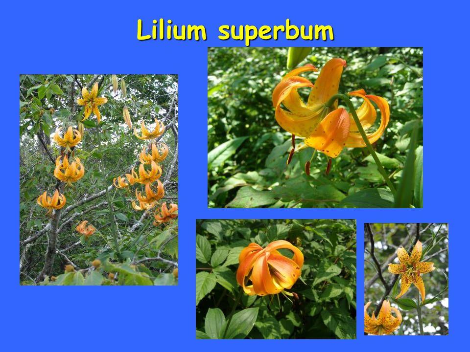 Lilium superbum