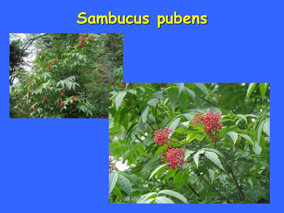 Sambucus pubens