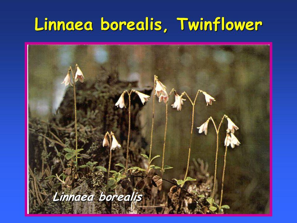 Linnaea borealis, Twinflower Linnaea borealis