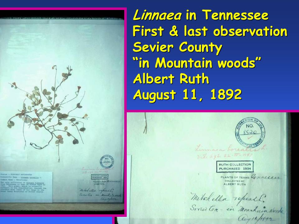 Linnaea in Tennessee First & last observation Sevier County in Mountain woods Albert Ruth August 11, 1892