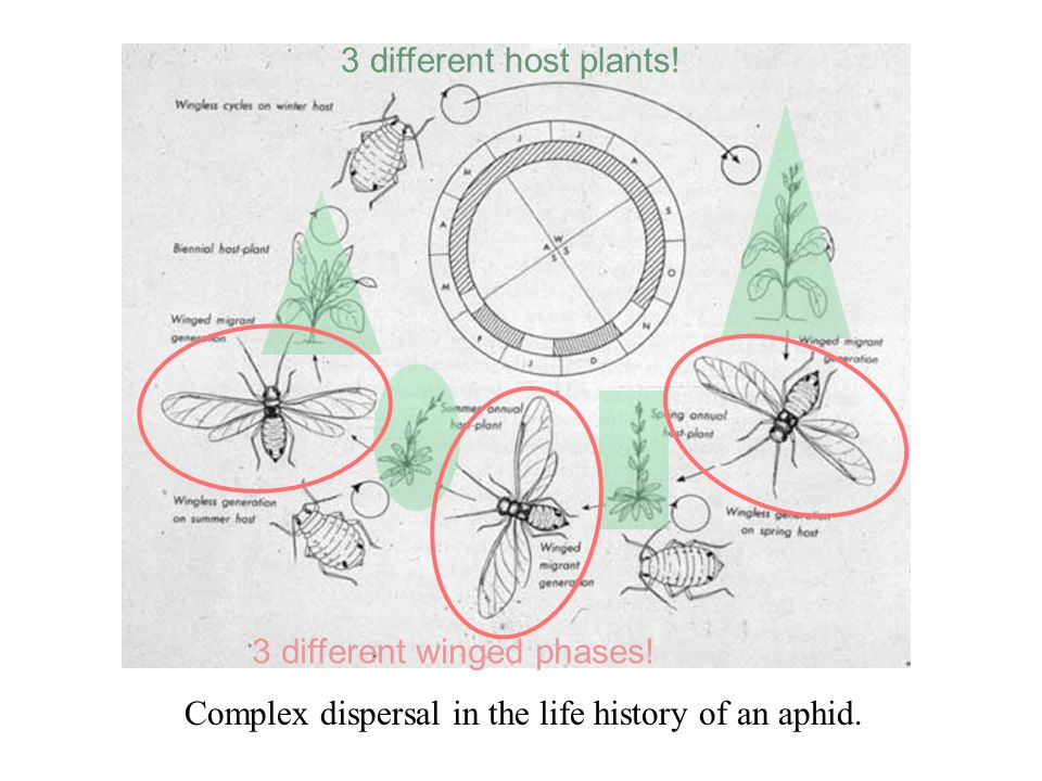 Major phases of behavior in dispersal of an aphid. Dispersal Physical relocation under some control of the insect. Along with reproduction, the main f