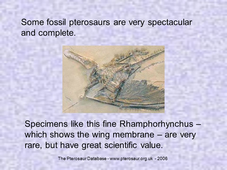 The Pterosaur Database - www.pterosaur.org.uk - 2006 Some fossil pterosaurs are very spectacular and complete. Specimens like this fine Rhamphorhynchu
