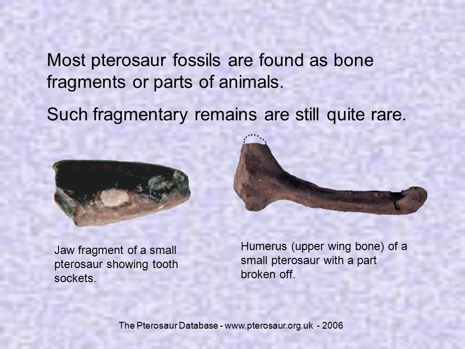 The Pterosaur Database - www.pterosaur.org.uk - 2006 Most pterosaur fossils are found as bone fragments or parts of animals. Such fragmentary remains