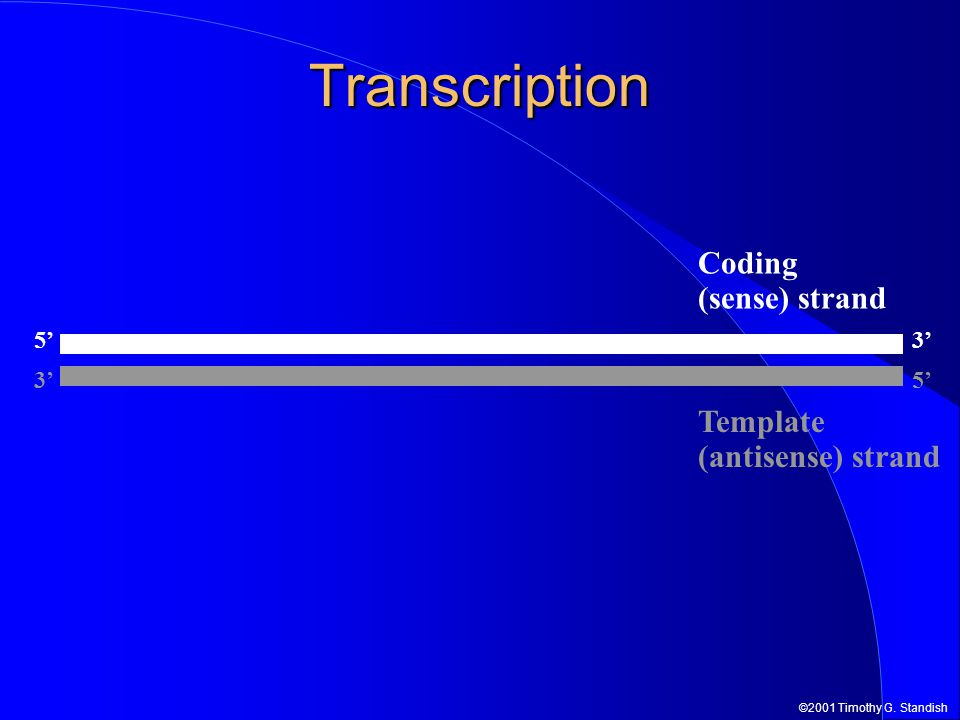©2001 Timothy G. Standish Transcription 5' 3' 5' Template (antisense) strand Coding (sense) strand