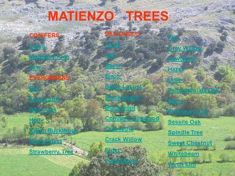 MATIENZO TREES CONIFERS Larch Monterey Pine Yew EVERGREENS Bay Eucalyptus Holm Oak Holly Italian Buckthorn Mock Privet Strawberry Tree DECIDUOUS Alder
