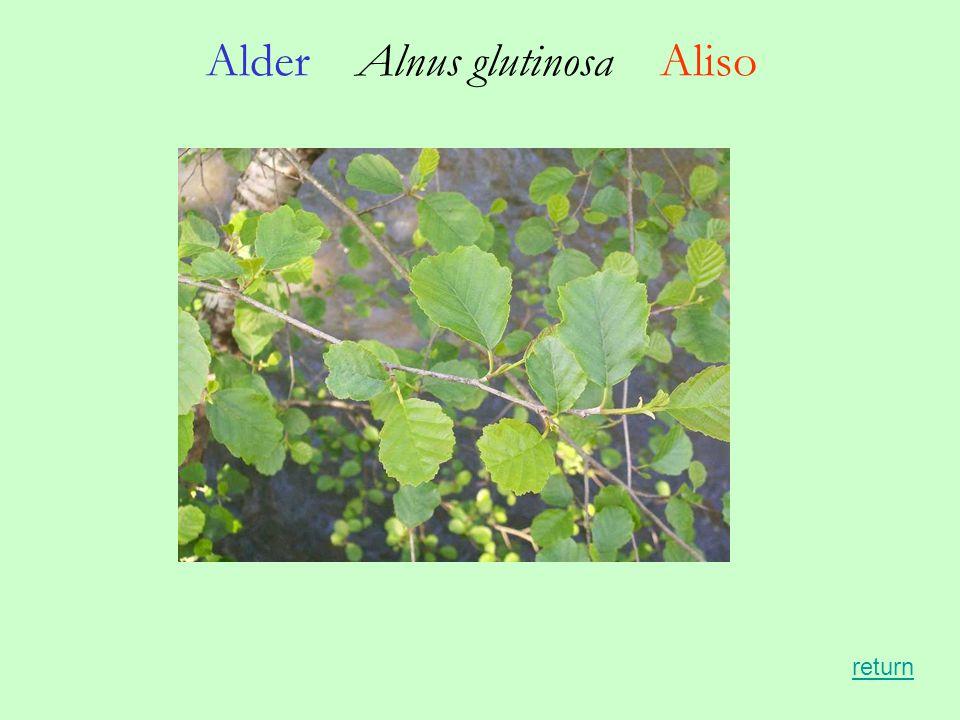 Alder Alnus glutinosa Aliso return
