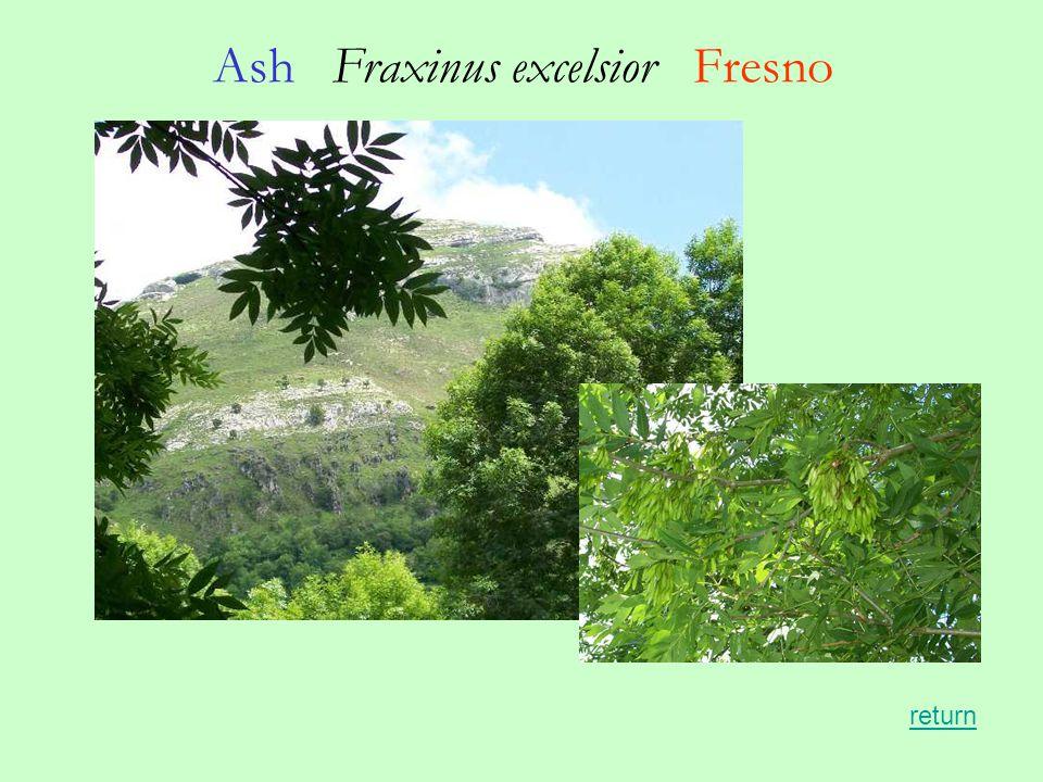 Ash Fraxinus excelsior Fresno return
