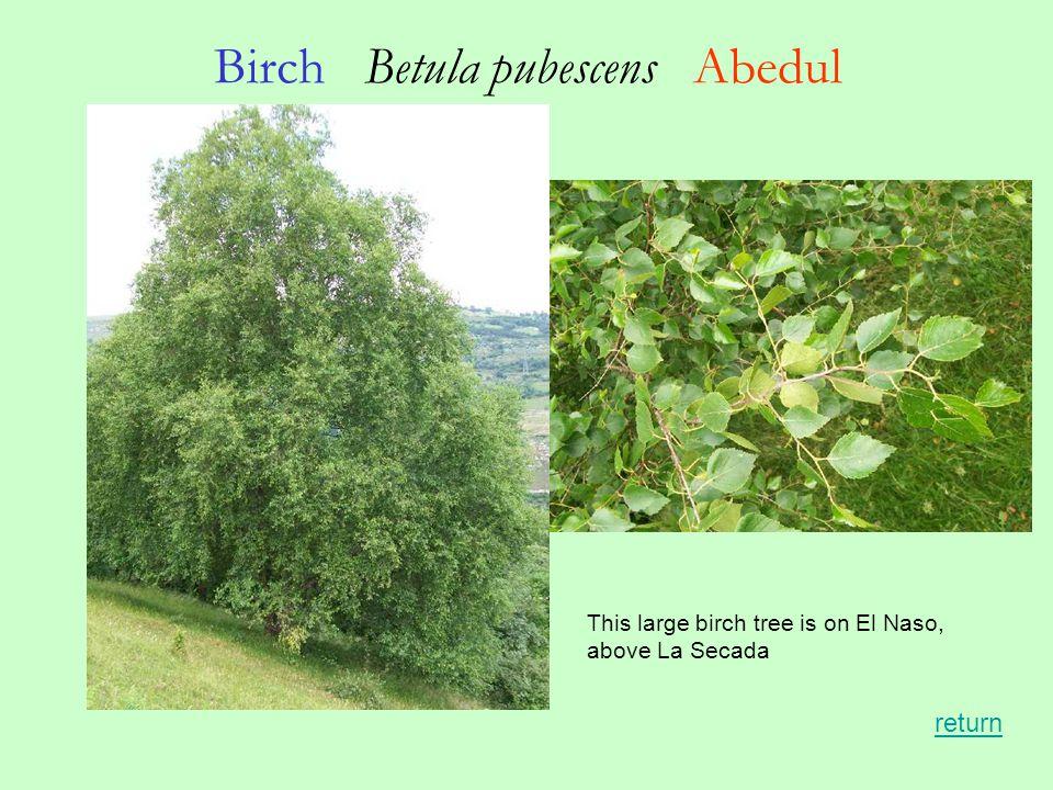 Birch Betula pubescens Abedul return This large birch tree is on El Naso, above La Secada