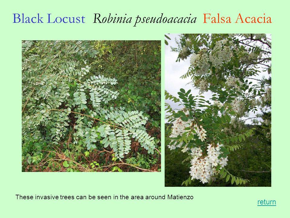 Black Locust Robinia pseudoacacia Falsa Acacia These invasive trees can be seen in the area around Matienzo return