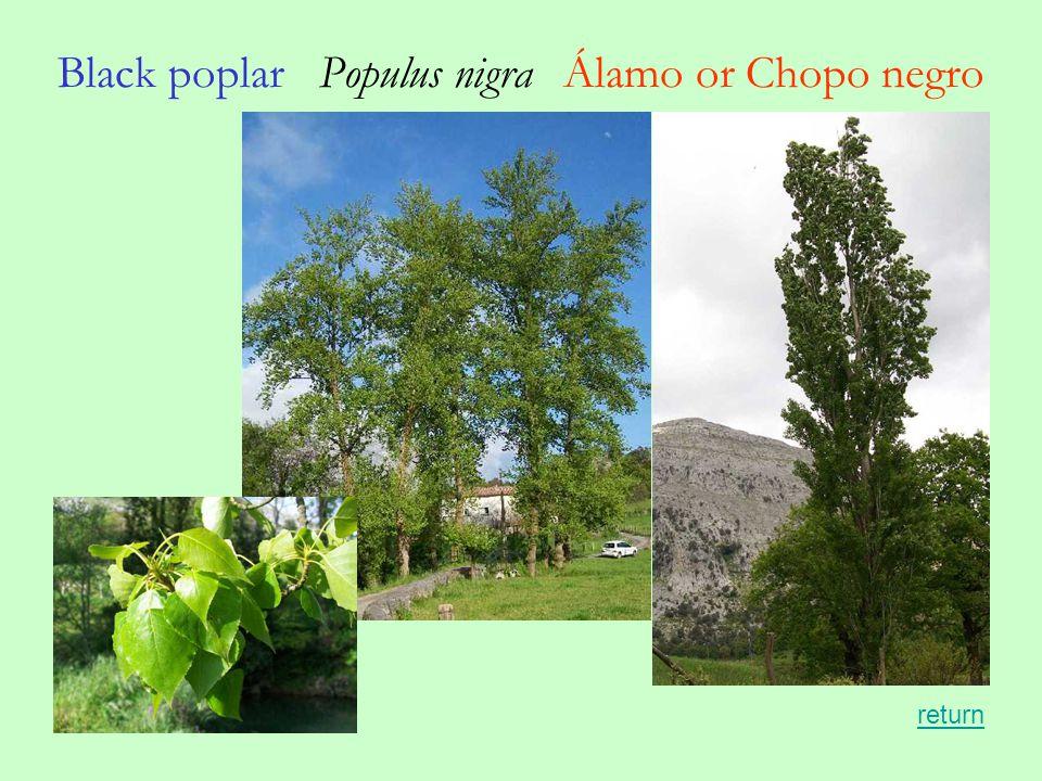 Black poplar Populus nigra Álamo or Chopo negro return