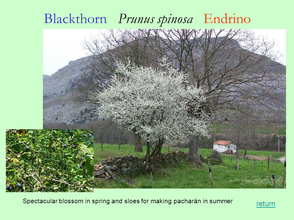 Blackthorn Prunus spinosa Endrino Spectacular blossom in spring and sloes for making pacharán in summer return