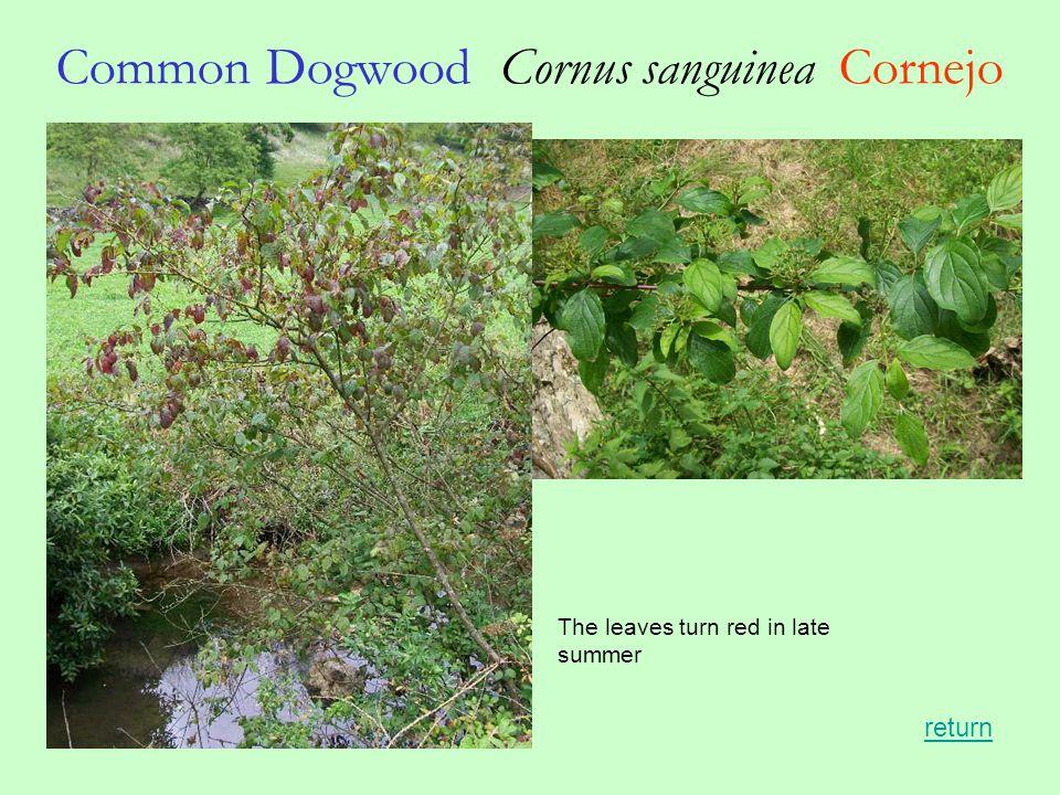 Common Dogwood Cornus sanguinea Cornejo return The leaves turn red in late summer