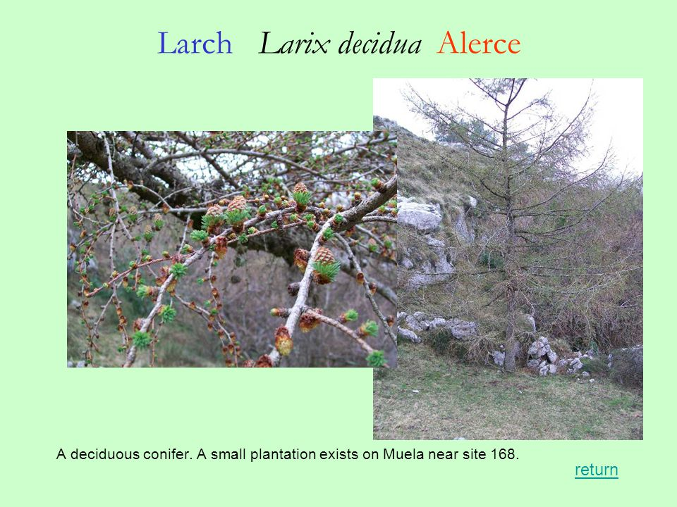 Larch Larix decidua Alerce A deciduous conifer. A small plantation exists on Muela near site 168.