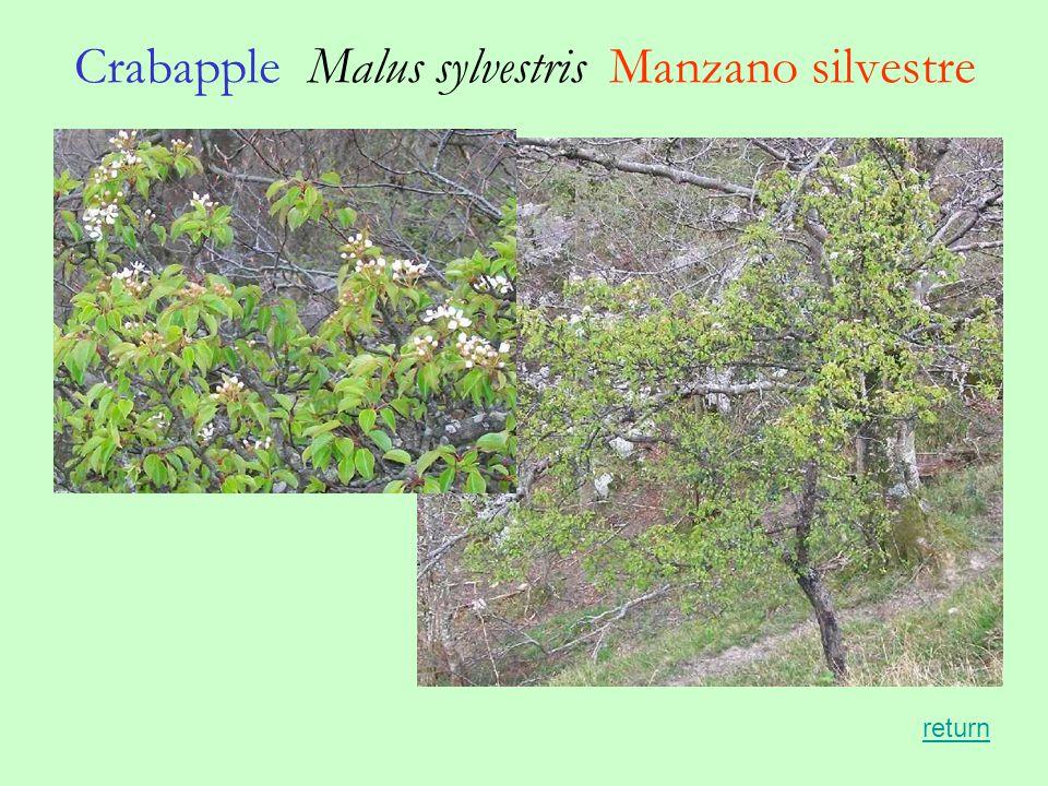 Crabapple Malus sylvestris Manzano silvestre return