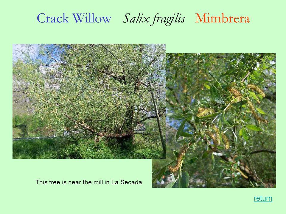 Crack Willow Salix fragilis Mimbrera This tree is near the mill in La Secada return