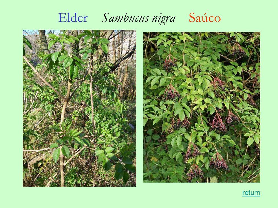 Elder Sambucus nigra Saúco return