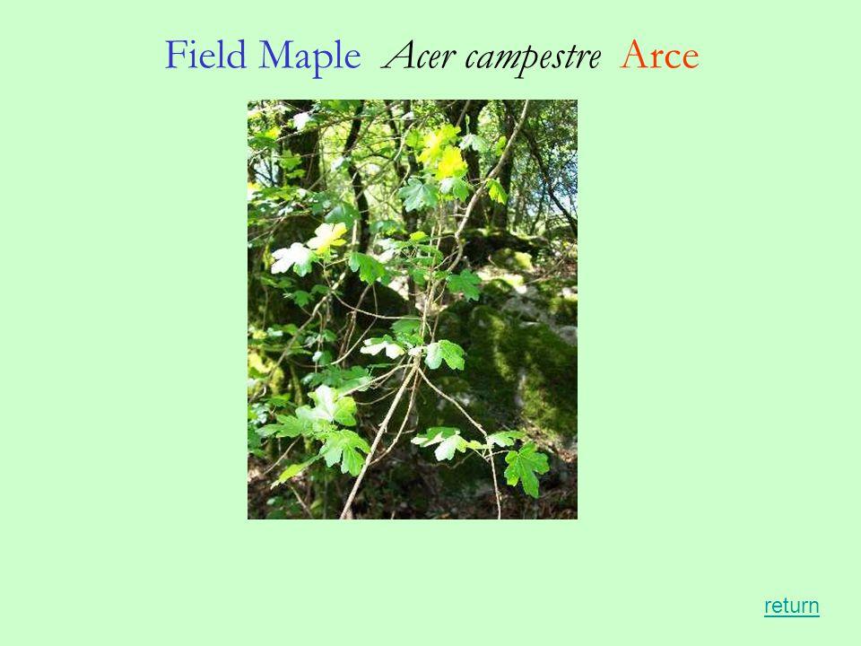 Field Maple Acer campestre Arce return