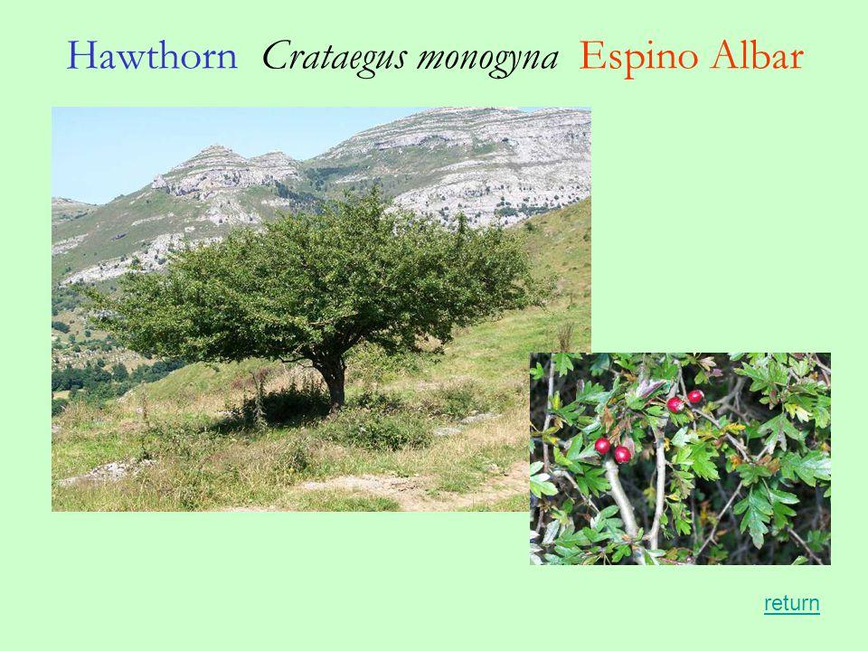 Hawthorn Crataegus monogyna Espino Albar return