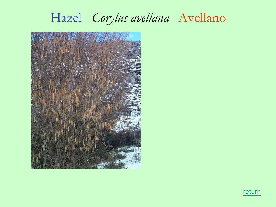 Hazel Corylus avellana Avellano return