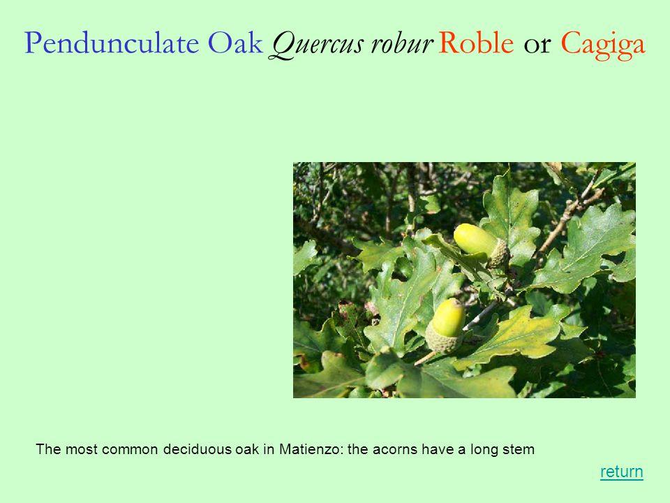 Pendunculate Oak Quercus robur Roble or Cagiga The most common deciduous oak in Matienzo: the acorns have a long stem return