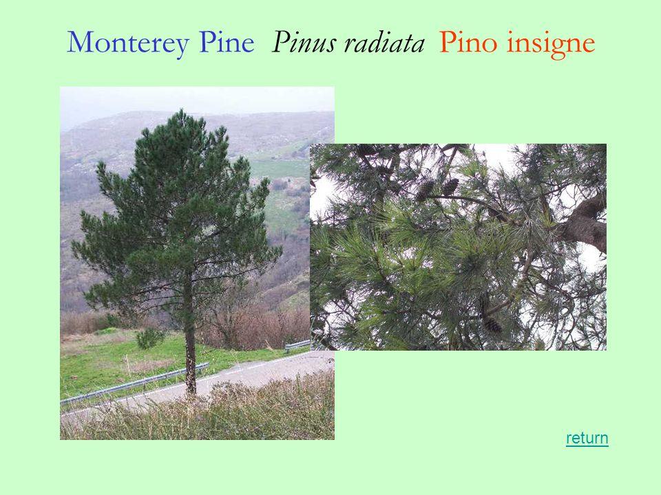 Monterey Pine Pinus radiata Pino insigne return