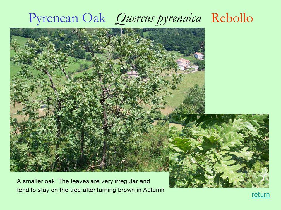 Pyrenean Oak Quercus pyrenaica Rebollo A smaller oak.
