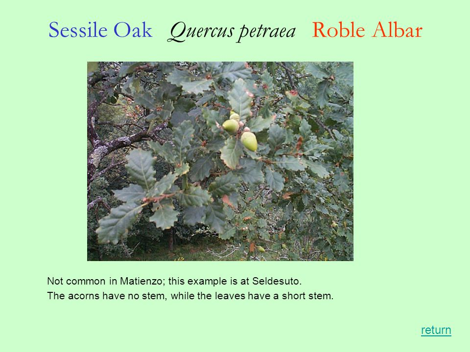 Sessile Oak Quercus petraea Roble Albar Not common in Matienzo; this example is at Seldesuto.