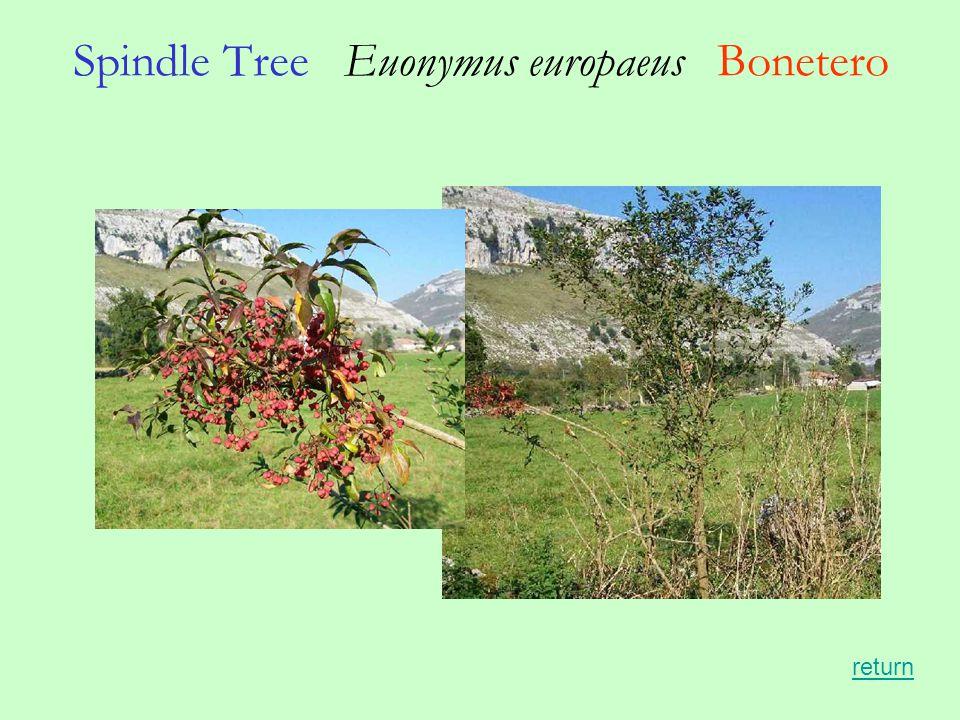 Spindle Tree Euonymus europaeus Bonetero return