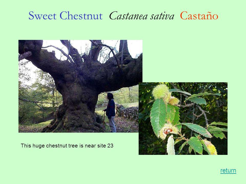 Sweet Chestnut Castanea sativa Castaño This huge chestnut tree is near site 23 return