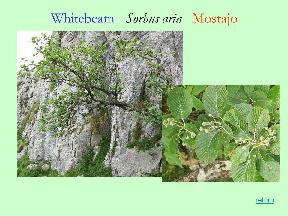 Whitebeam Sorbus aria Mostajo return