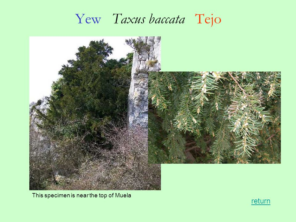 Yew Taxus baccata Tejo This specimen is near the top of Muela return